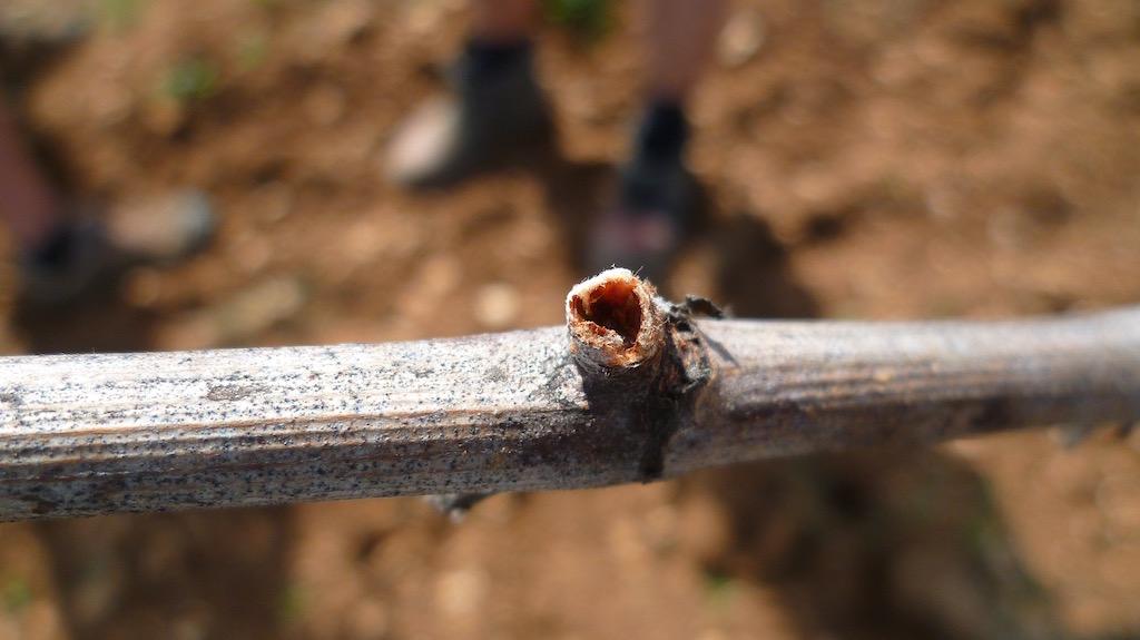 いも虫に食べられたぶどう樹の芽