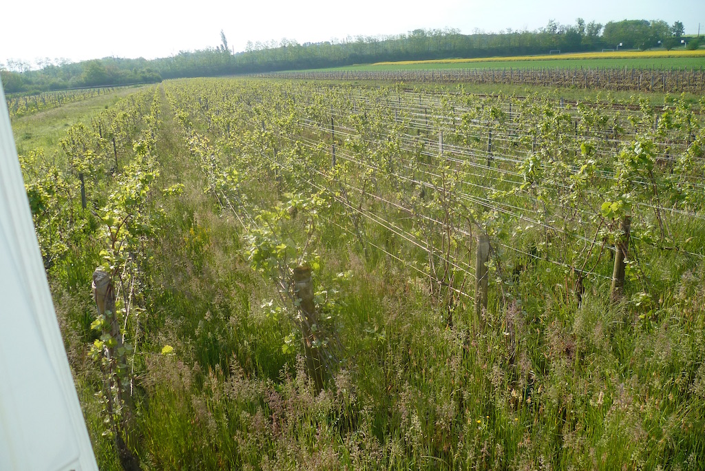 5月11日にまだ剪定されてない畑
