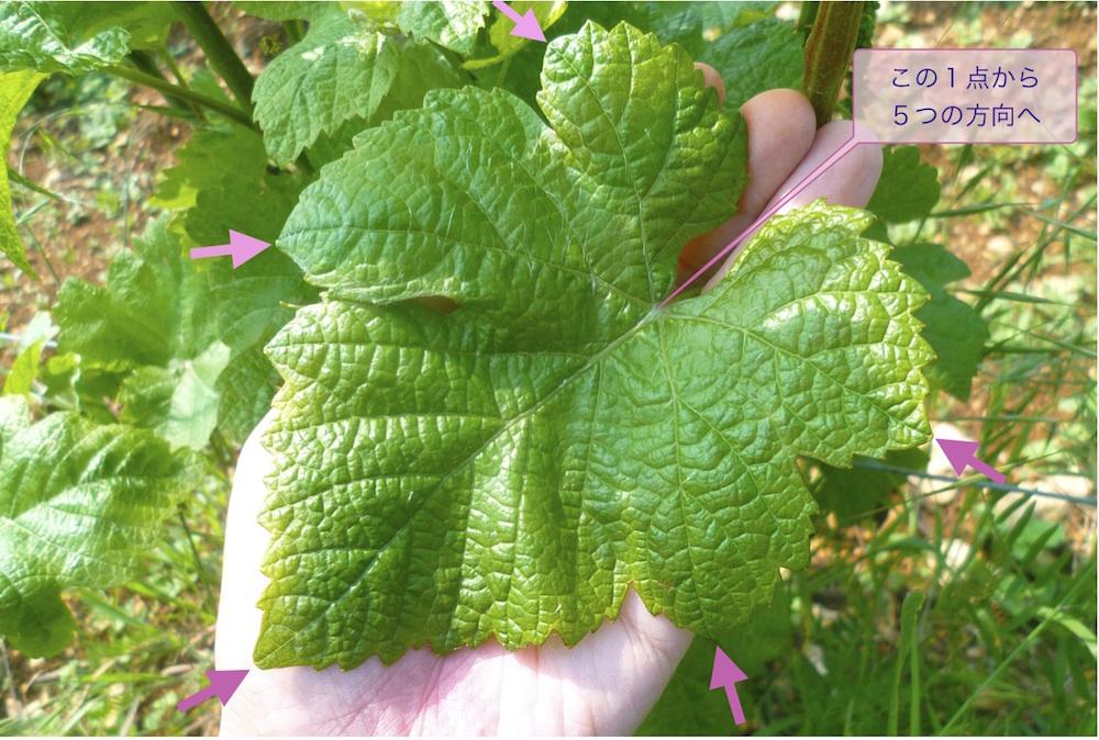 ぶどうの葉の葉身は5つのパーツに分かれ、その先端に5本の主葉脈が葉柄から届いている。