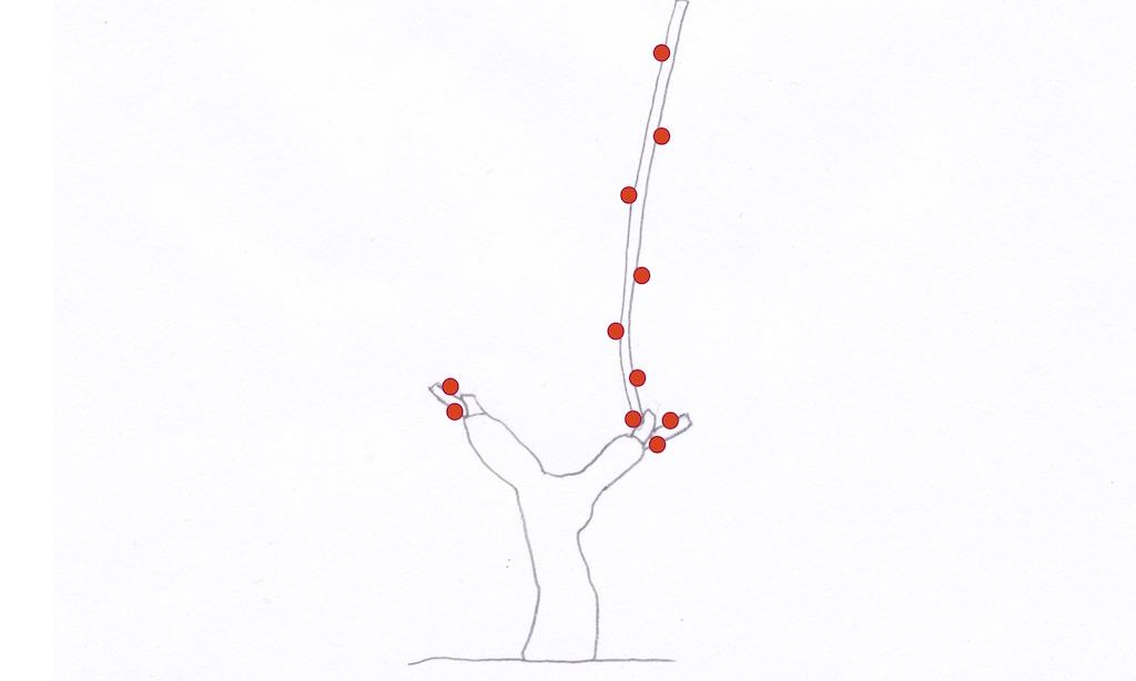 はじめてguyot poussardギュイヨ・プーサールになったぶどう樹の図
