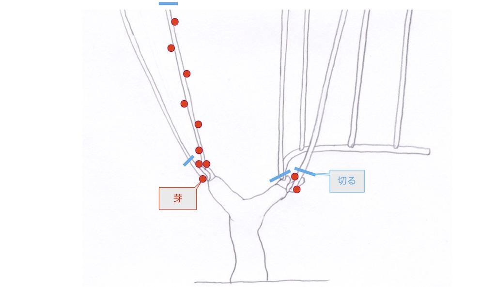guyot poussardギュイヨ・プーサール仕立てで、クロッシェとバゲットの位置の交換をするための、残す芽と切り落とす場所