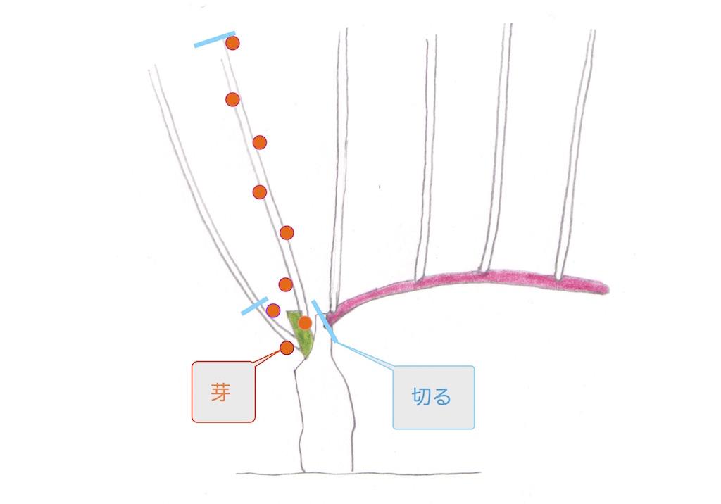 guyot simpleギュイヨ・サンプルの剪定で、残す芽と切り落とす場所
