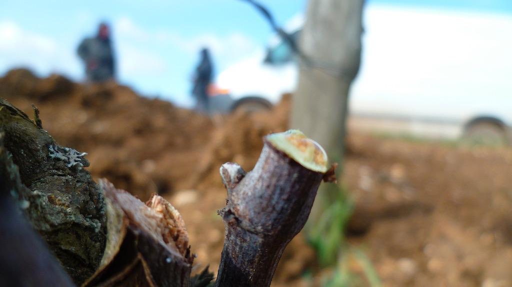 ぶどう樹の剪定の切り口から、樹液が溢出する