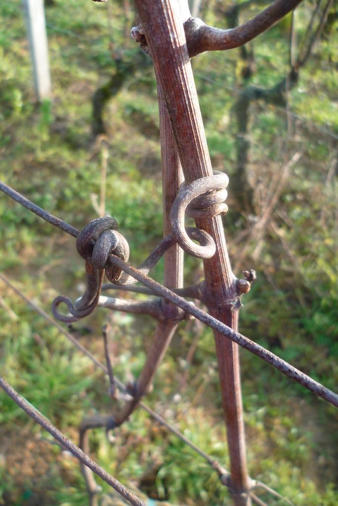 木化した巻きひげで針金に巻きつく木化した新梢