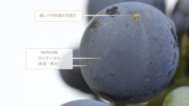 baieベ(果粒)のかたちと構造