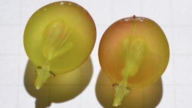 baieベ(果粒)の中にある3タイプの維管束