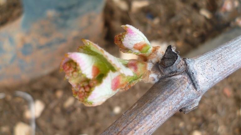 ぶどう樹のふたごの芽