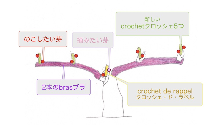 cordon doubleコルドン・ドゥーブルの摘芽で残す芽