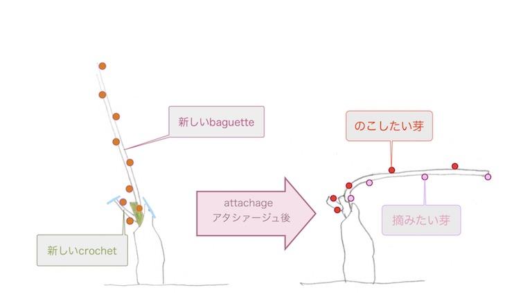 guyot simpleギュイヨ・サンプルの摘芽で残す芽の図