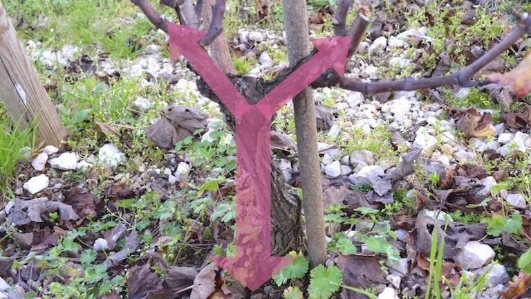 ギュイヨ・プーサールではぶどう樹の中に2本の管をイメージする。