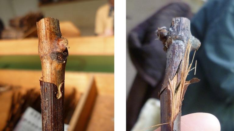 ぶどう樹のporte-greffe接ぎ木の方法、オメガ方式とアングレーズ方式。