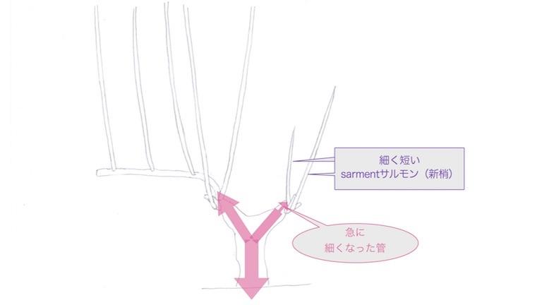 brasブラの発育がわるくなってきたguyot poussardギュイヨ・プーサールのぶどう樹