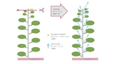 52. rognageロニャージュ(摘芯)と植物ホルモン