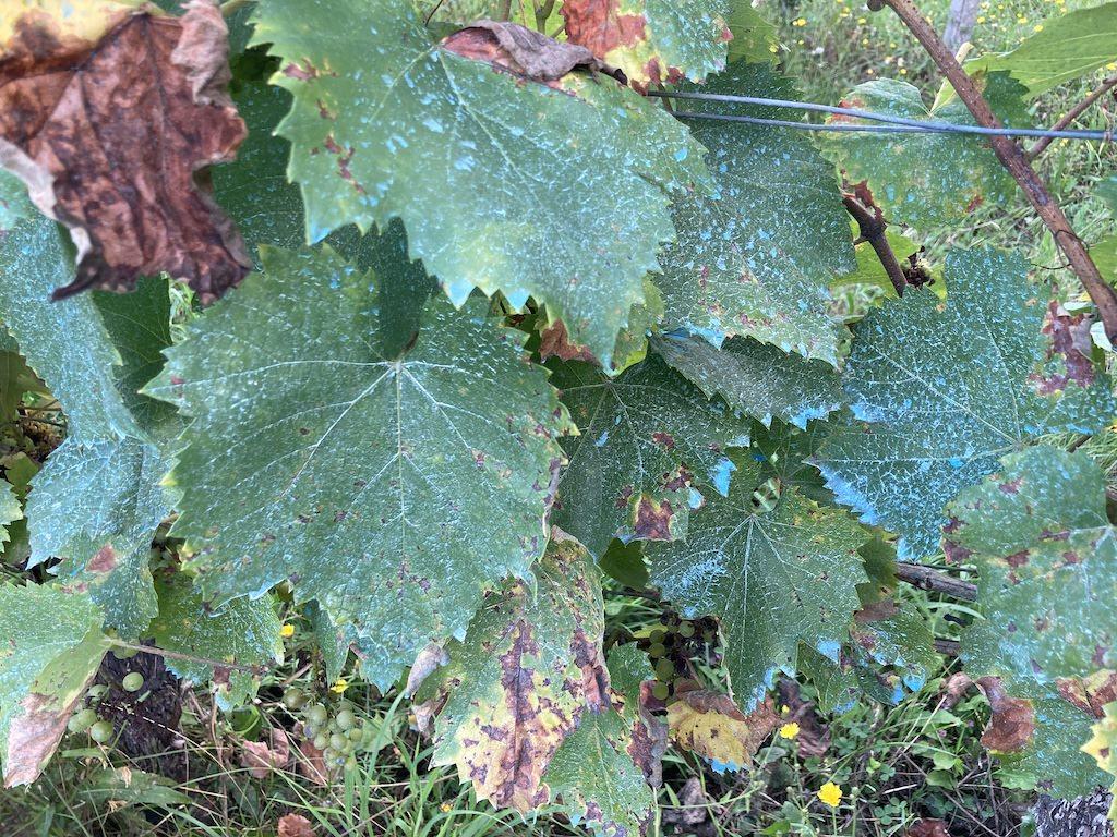 ボルドー液はぶどう樹の葉・茎・房にまんべんなく散布される。雨に打たれると流れてしまうため、頻繁に雨が降る年は夏の中頃まで週に1度散布される。